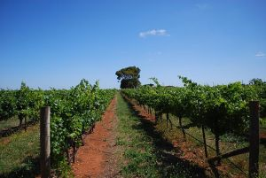 Coonawarra red soil