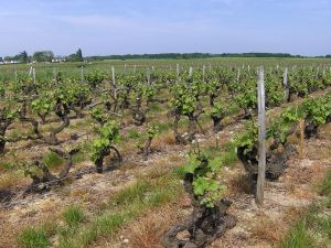 Vines in Vouvray