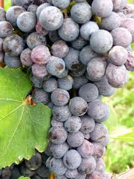 Nebbiolo Grapes