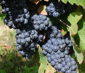 Pinotage grapes