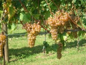 Erbaluce grapes