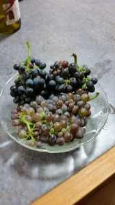 Pinot Gris and Pinot Noir grapes, 1 week from harvest !