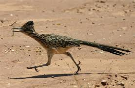 That's an actual Road Runner bird